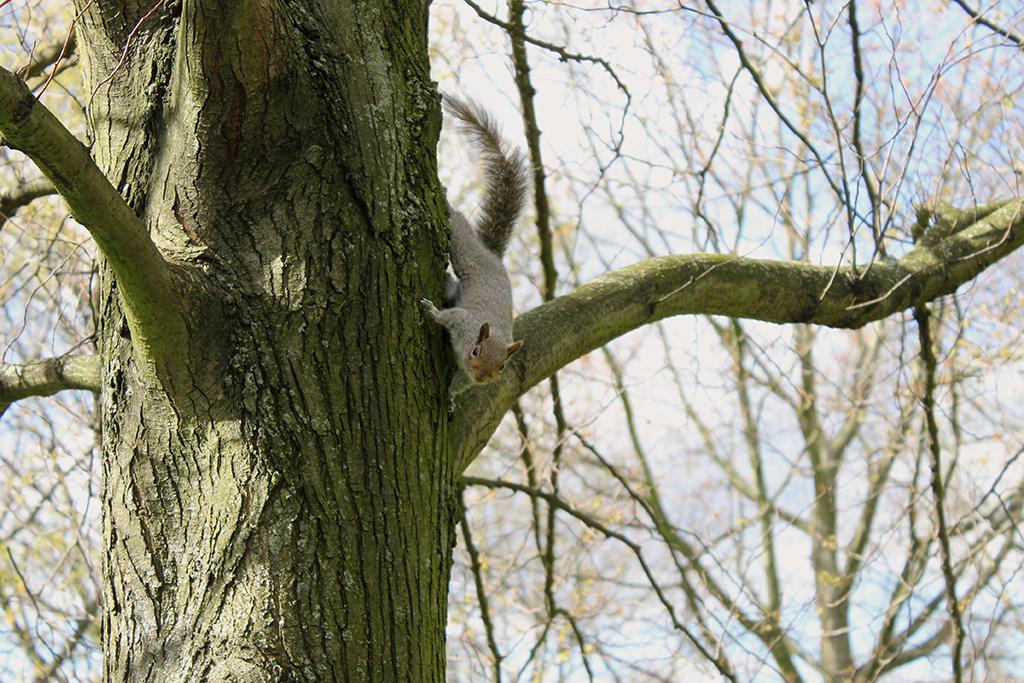 ecureuil-regents-park-londres
