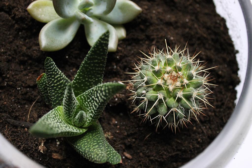 cactus-succulentes-alor-vera