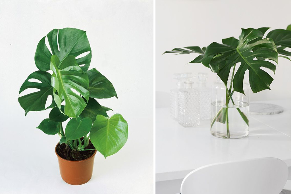 plante-philodendron-monstera