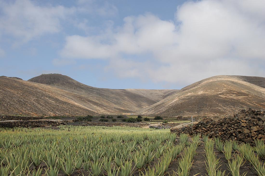 plantation-aloe-vera-lanzarote