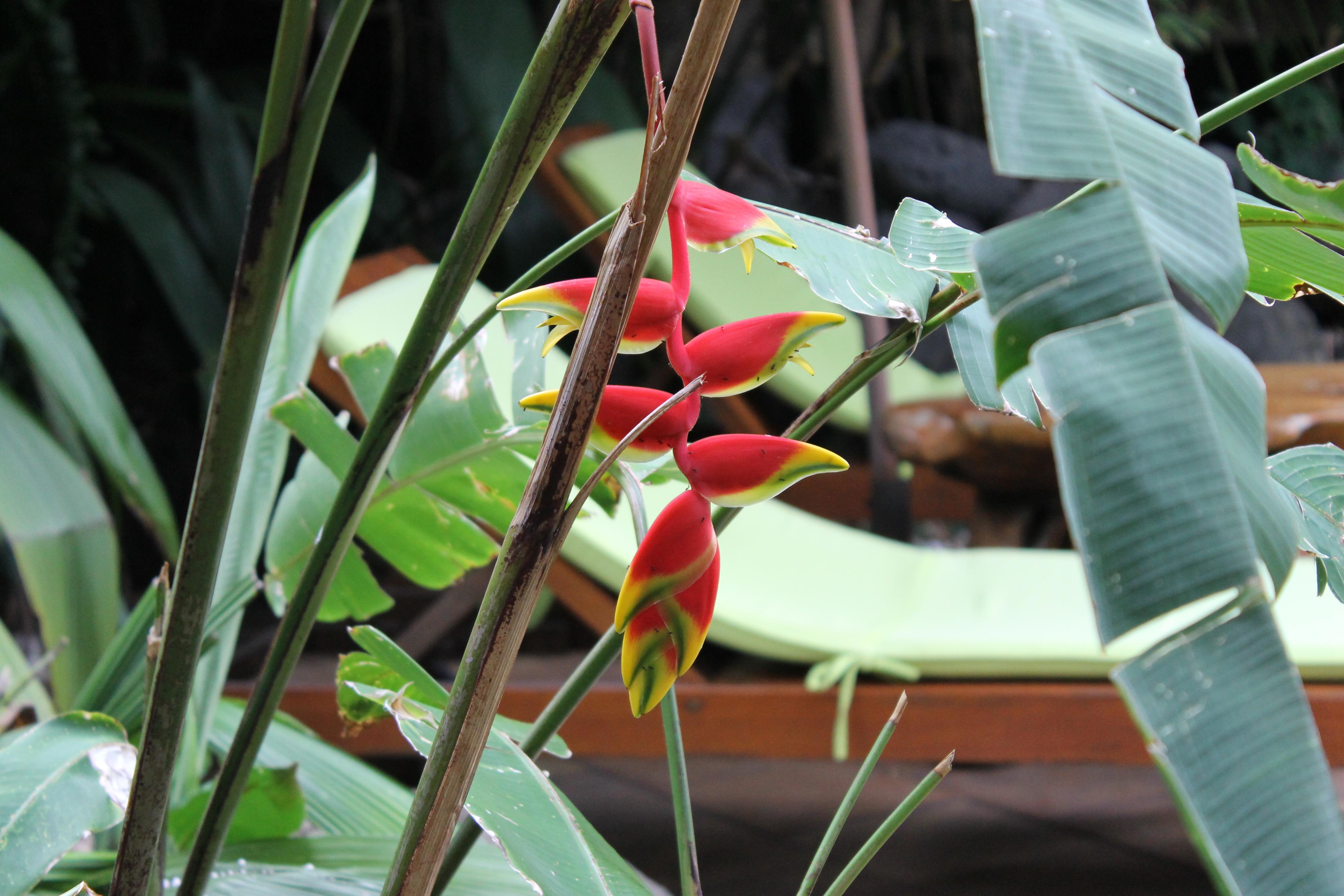 oiseau-du-paradis
