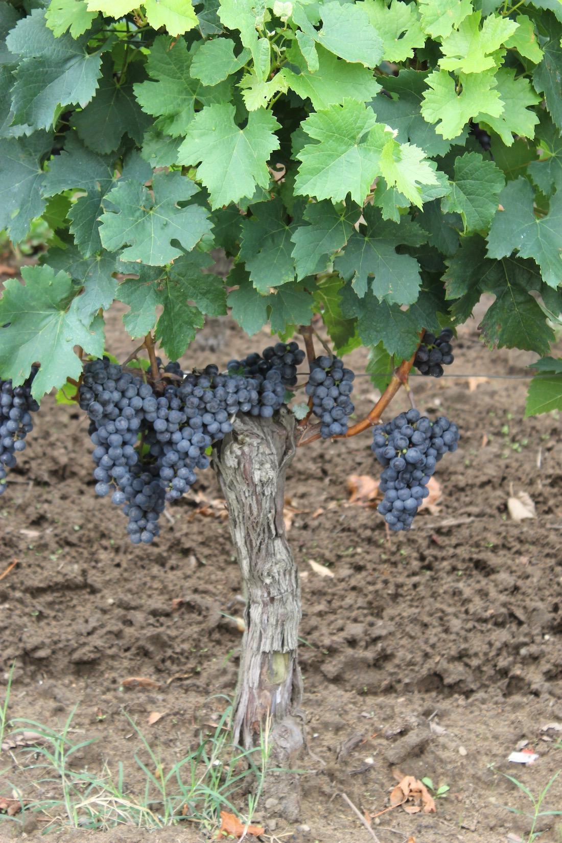 vigne-chateau-pindefleurs