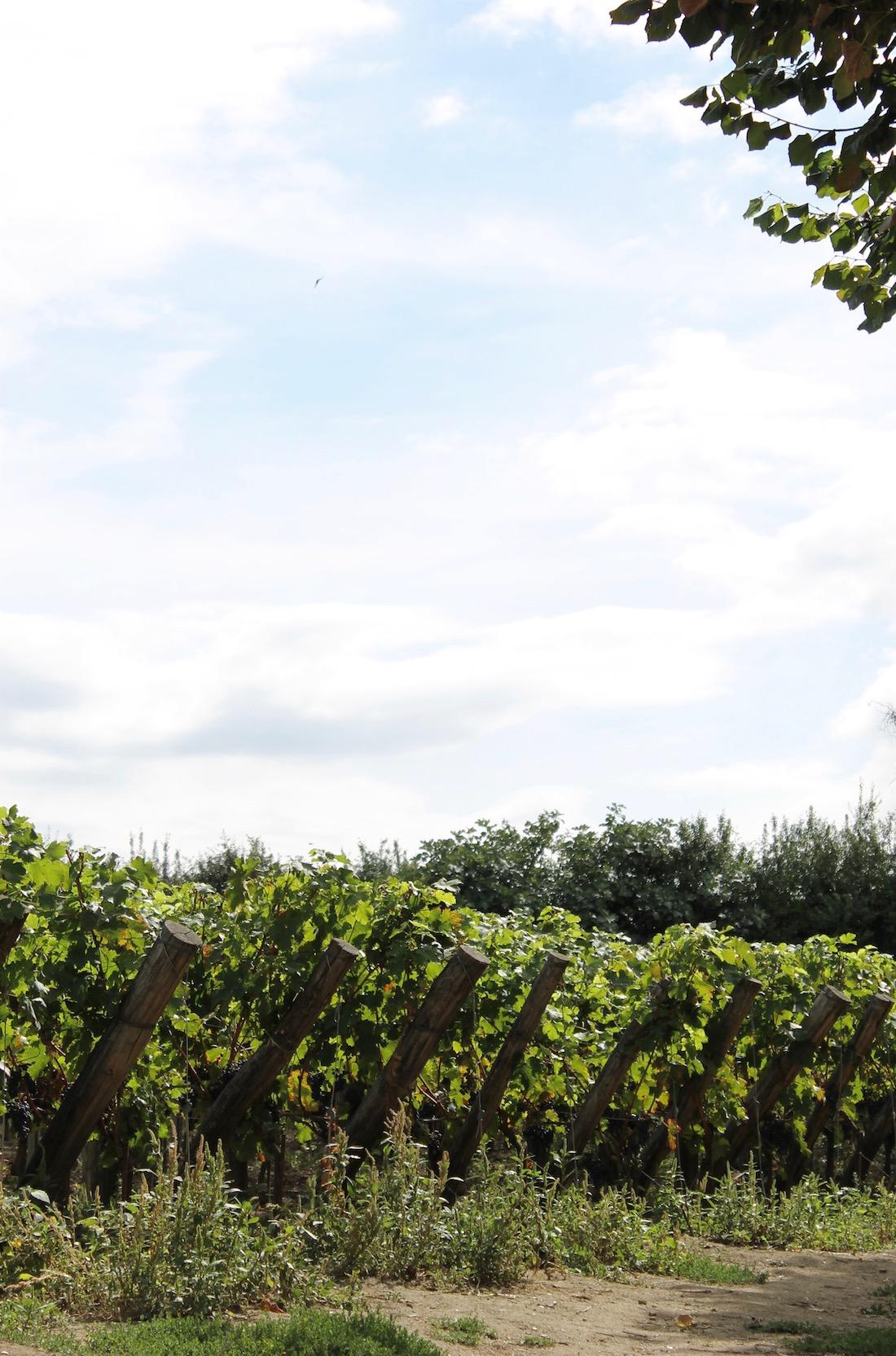 vignes-saint-emilion
